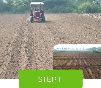 Napier Hybrid Grass CO (BN) 5 slips