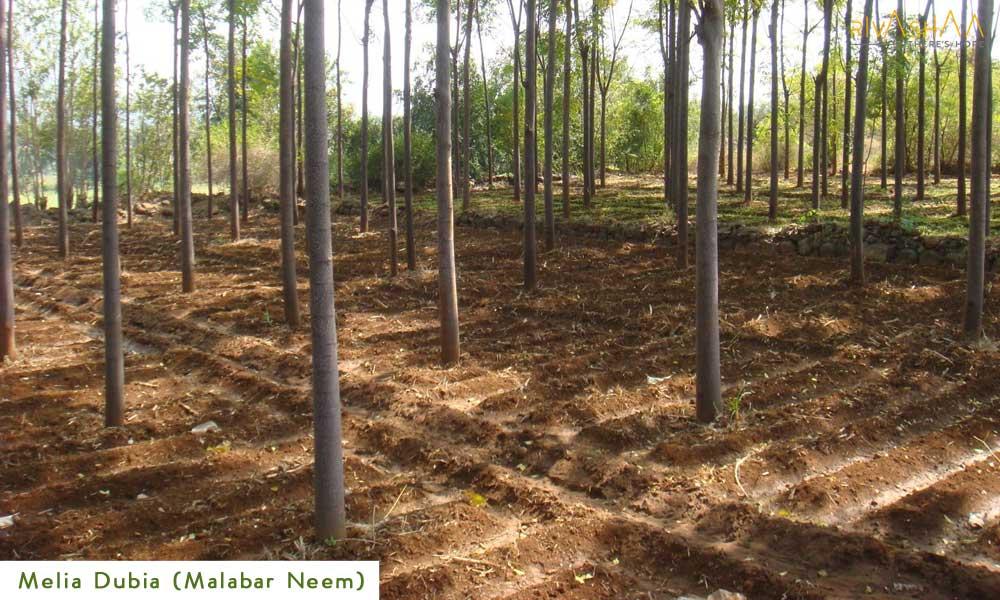 Melia Dubia Tree